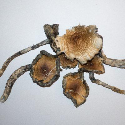 Blue Meanie Magic Mushrooms CSD